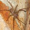 Heteropoda jugulans