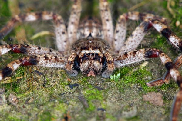 Isopeda montana