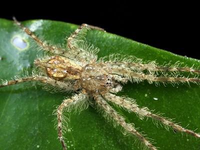 genus Pandercetes