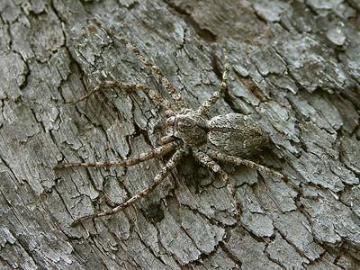 genus Pediana