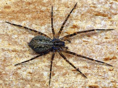 Stiphidiidae - Sombrero Spiders
