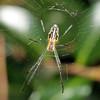 Leucauge granulata - Silver Orb Weaver