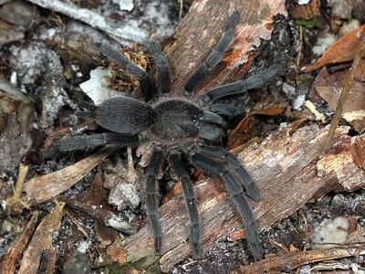 Theraphosidae - Australian Tarantulas