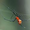 Argyrodes miniaceus