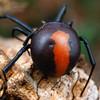 Latrodectus hasselti - Redback (fem)