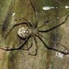 Parasteatoda tepidariorum