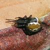 Parasteatoda decorata or P. mundula