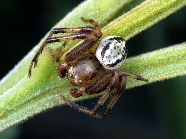 Australomisidia cruentata
