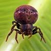 Bomis larvata