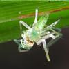Cetratus sp.