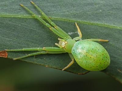 genus Hedana