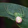 Lehtinelagia sp. (probably L. evanida)
