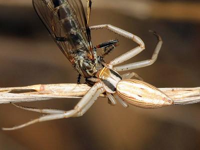 genus Runcinia