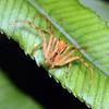 Sidymella longipes