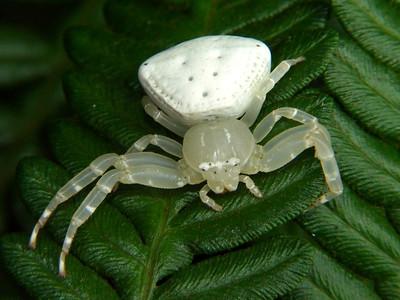 genus Thomisus