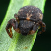possibly Bomis larvat