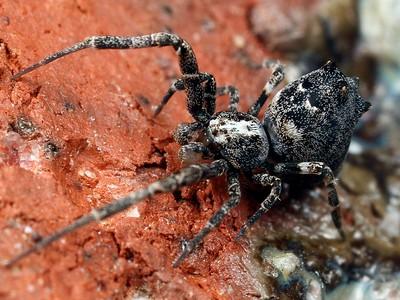 family Uloboridae - Venomless Spiders