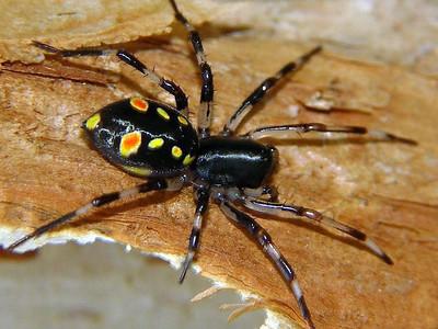 family Zodariidae - Ant-eating Spiders