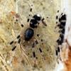 possibly Symphanodes dianaphus