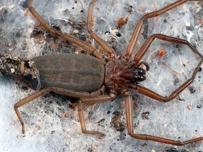 family Gnaphosidae - Ground Spiders