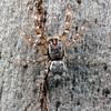 Arasia sp. (possibly A. mollicoma)