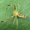 Astilodes mariae