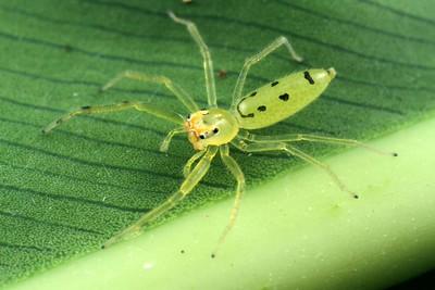 genus Astilodes