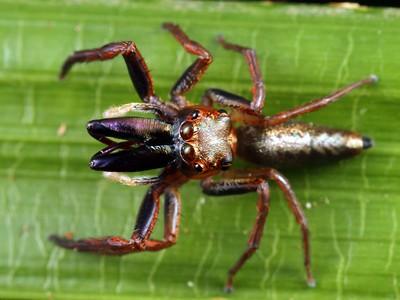 genus Canama