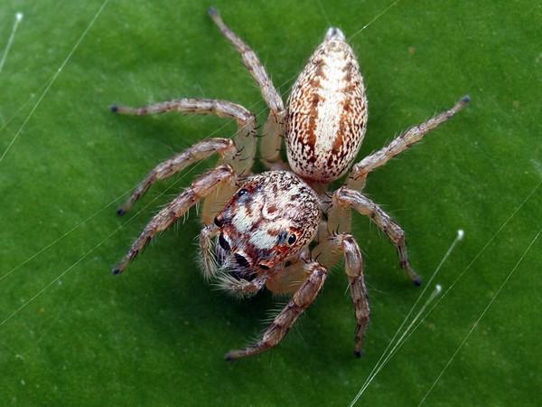Cytaea plumbeiventris (female)