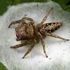 Cytaea sp. (female)