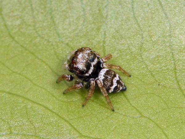 Euryattus bleekeri