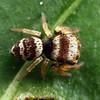 Euryattus bleekeri (juvenile)