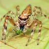 Helpis minutabunda (female)