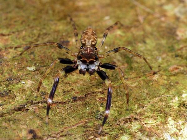 Jacksonoides sp. (male)