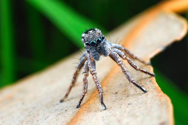 Jotus sp. (male)