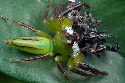 genus Mopsus