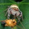 Opisthoncus parcedentatus (female)