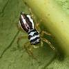 Phintella monteithi (female)