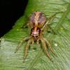 Prostheclina amplior (female)