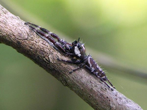 Sandalodes bipenicillatus (male)