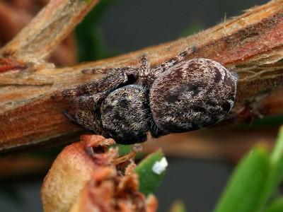genus Simaetha