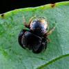 Simaethula sp.