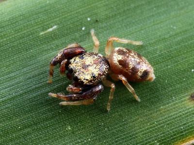 genus Tara