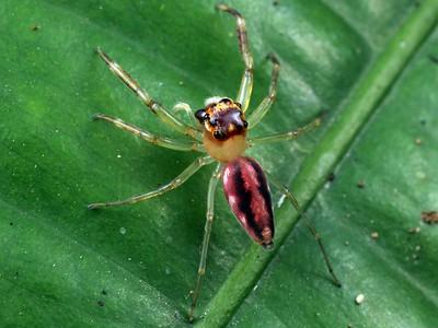 genus Tauala