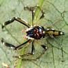 Tauala sp. cf alveolatus (male)