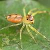 Tauala sp. cf alveolatus (female)