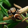 Unknown sp. (Opisthoncus?)