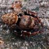 Euryattus or Simaetha sp.