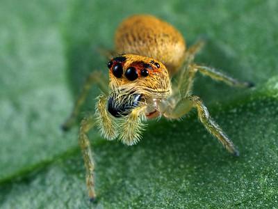 Unplaced Salticidae