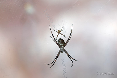 Araneid or Orb-weaving Spider - Male and Female